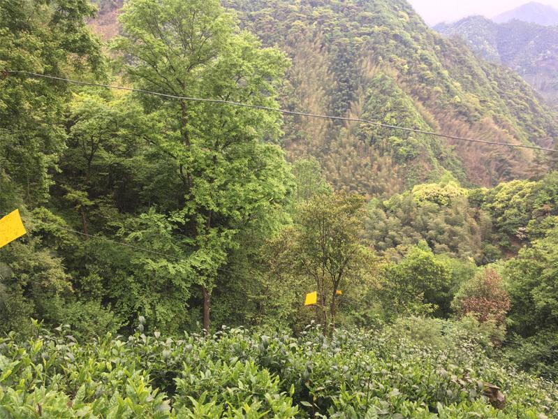 2020 Tai Ping Hou Kui Tea Garden 1