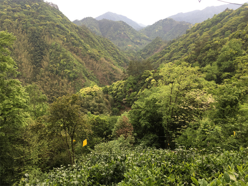2020 Tai Ping Hou Kui Tea Garden 2