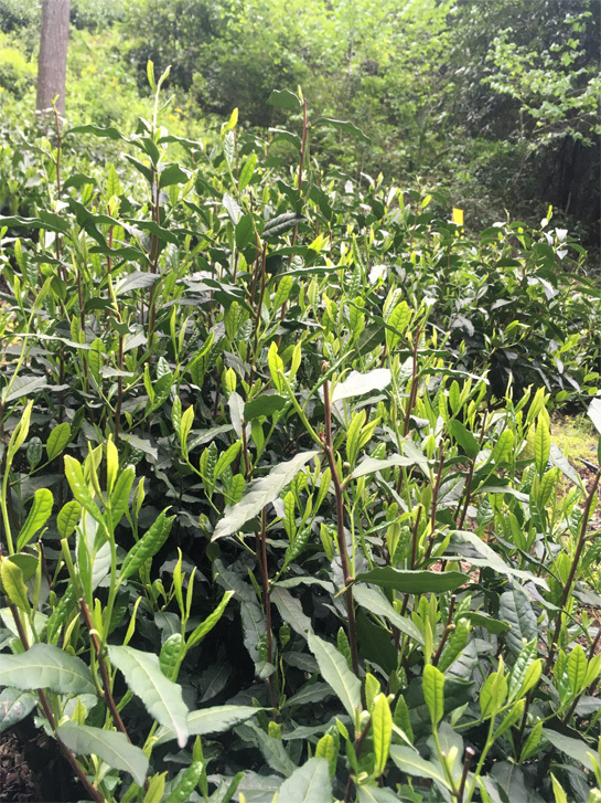 2020 Tai Ping Hou Kui Tea Garden 4