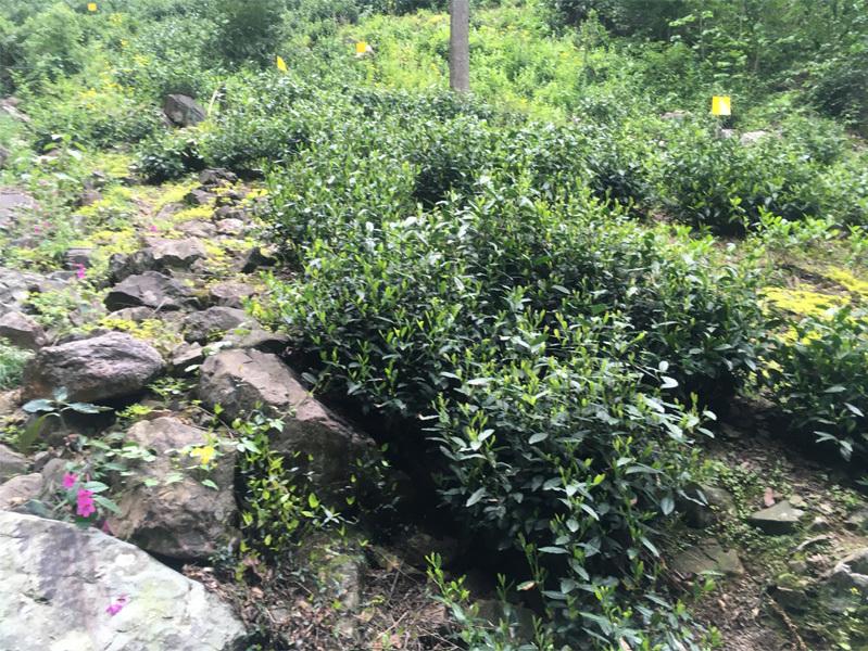 2020 Tai Ping Hou Kui Tea Garden 5