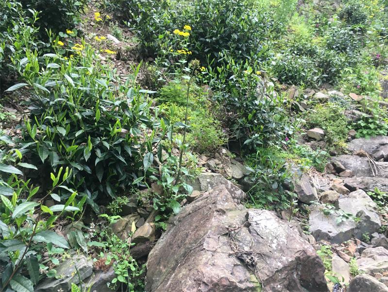 2020 Tai Ping Hou Kui Tea Garden 6