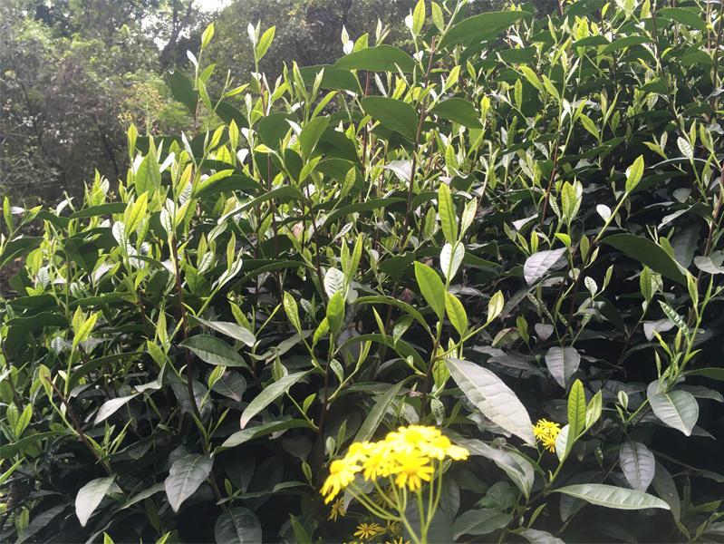 2020 Tai Ping Hou Kui Tea Garden 7