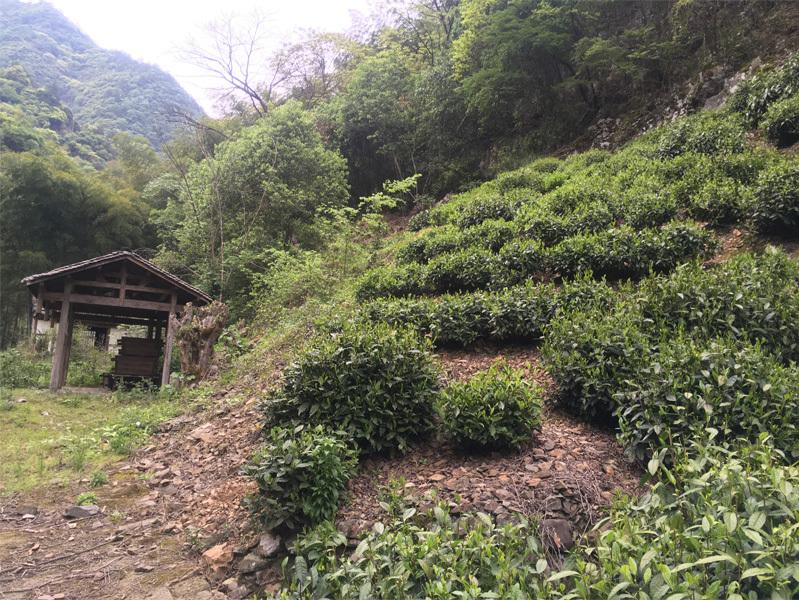 2020 Tai Ping Hou Kui Tea Garden 9