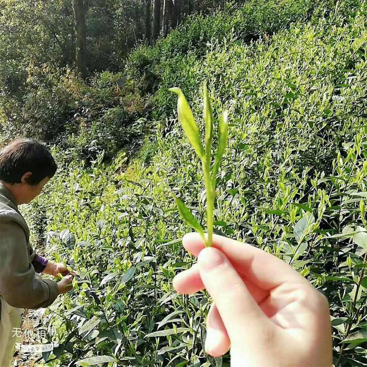 2020 Tai Ping Hou Kui Tea Garden 10
