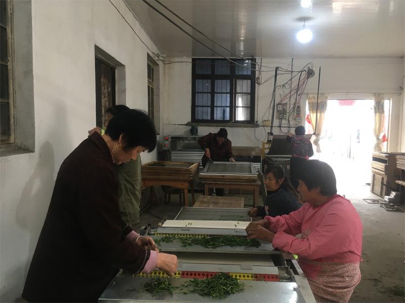 2020 Tai Ping Hou Kui Tea Processing 2