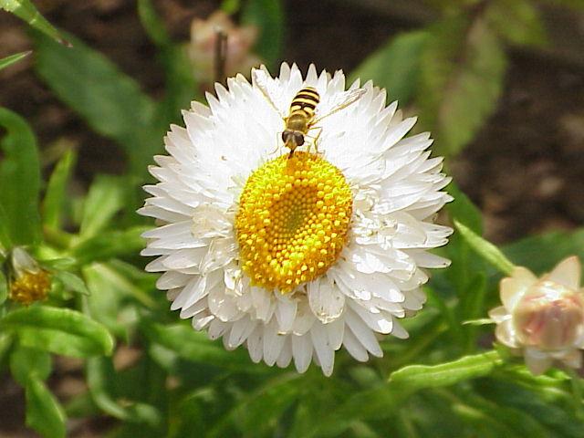 HelichrysumBanner