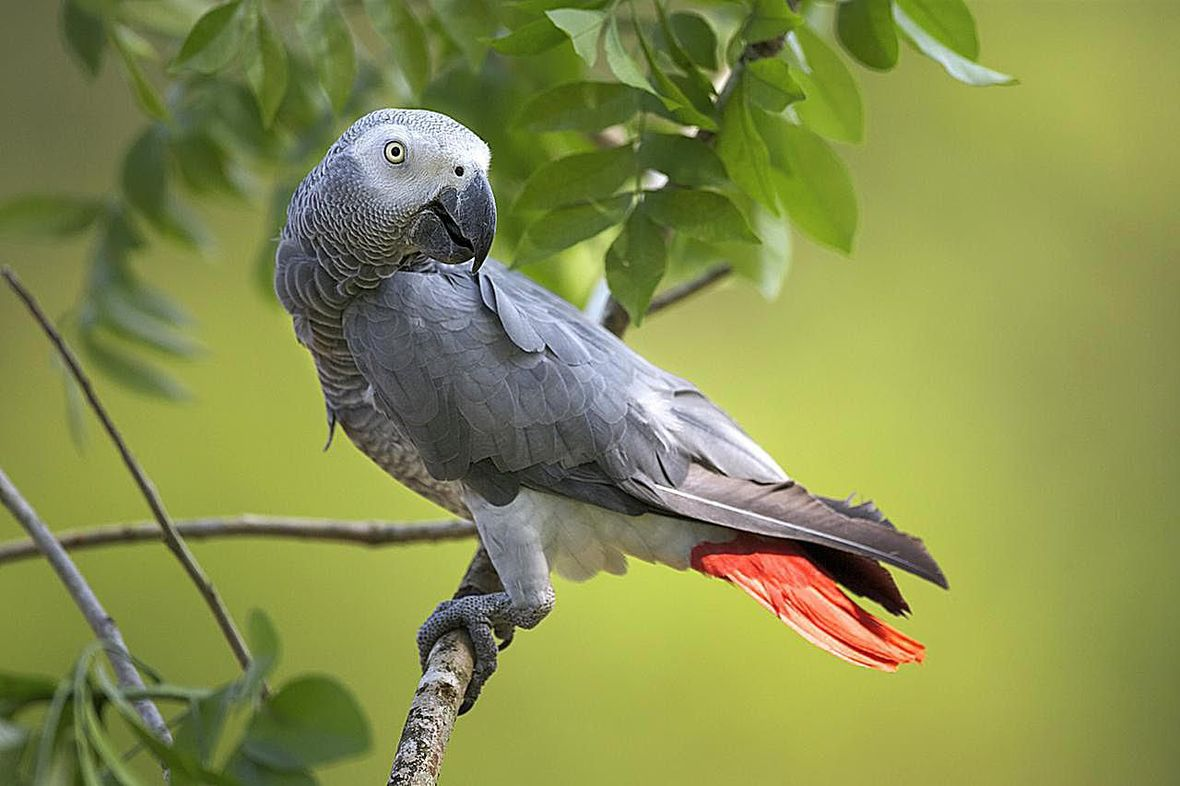 african-grey-parrot-121805814-resized-58a6f0f65f9b58a3c919b22b