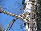 BirchwSquirrelS