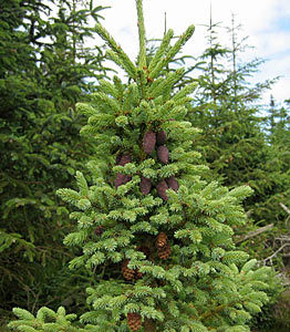 Spruce picea marianaL