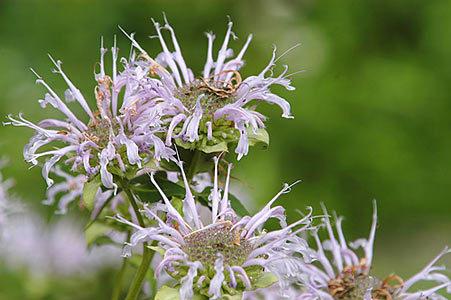 BergamotflowerL