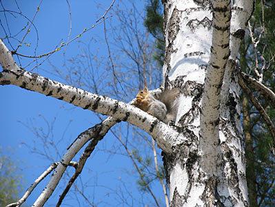 BirchwSquirrelL