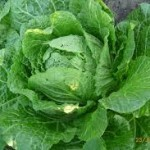 Chinese-Cabbage-150x150
